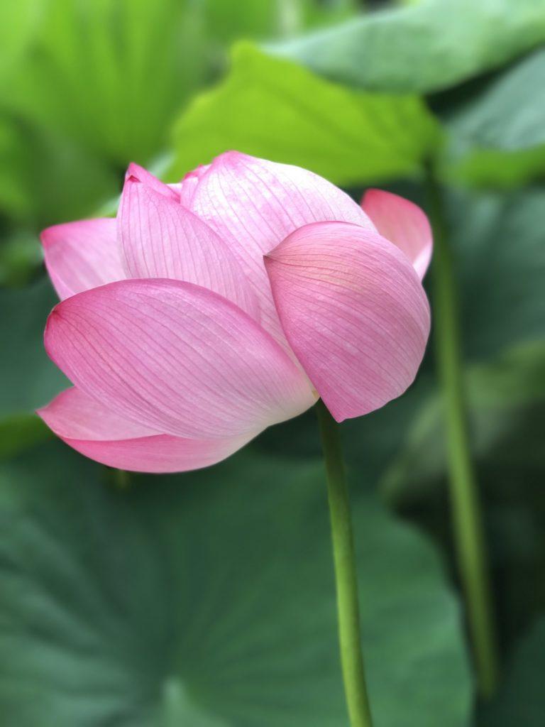 薬師池公園の蓮の花