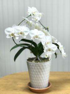三度目の胡蝶蘭