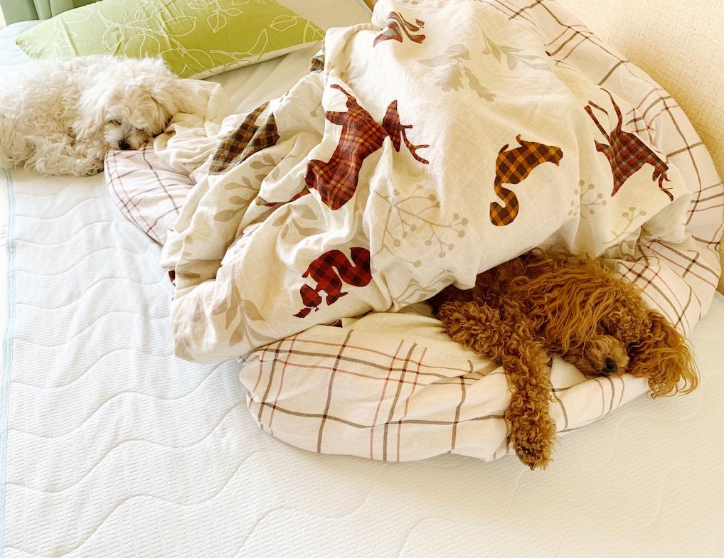 私のベッドで昼寝するワンコたち
