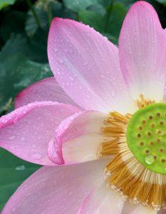 薬師池の蓮の花