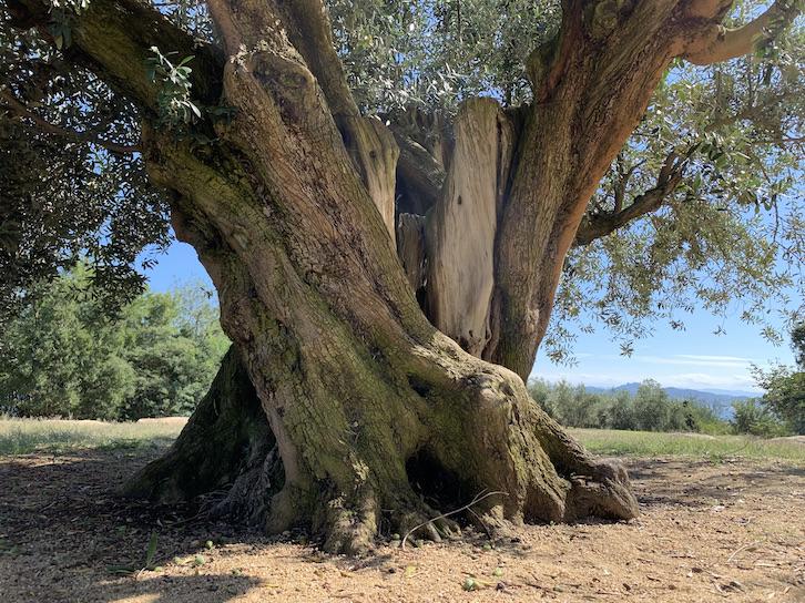 樹齢1000年オリーブ